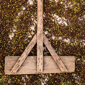 La récolte du café, la voie sèche