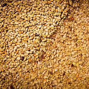 La récolte du café, la voie semi-humide