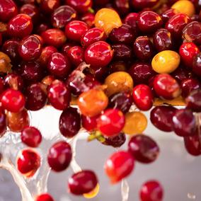 La récolte du café, la voie humide